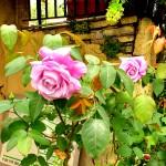 le rose del parco
